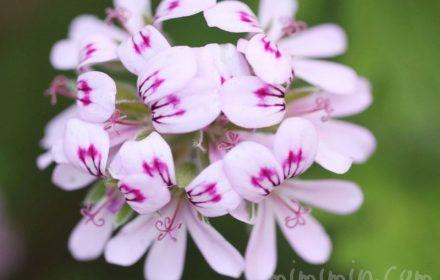 センテッドゼラニウム(ローズゼラニウム)の花の写真と花言葉の画像