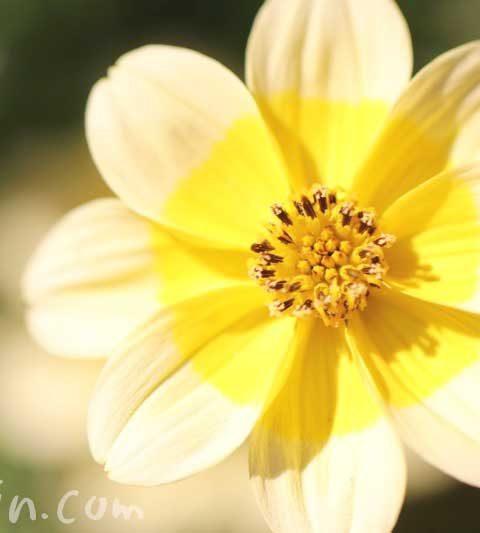 ウインターコスモス(ビデンス)の花の写真・花言葉・名前の由来