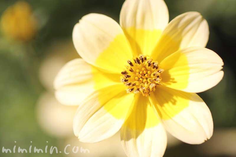 ビデンスの花の写真・花言葉・名前の由来の画像