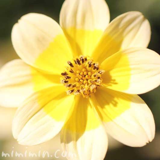 ウインターコスモスの花の写真・花言葉・名前の由来の画像
