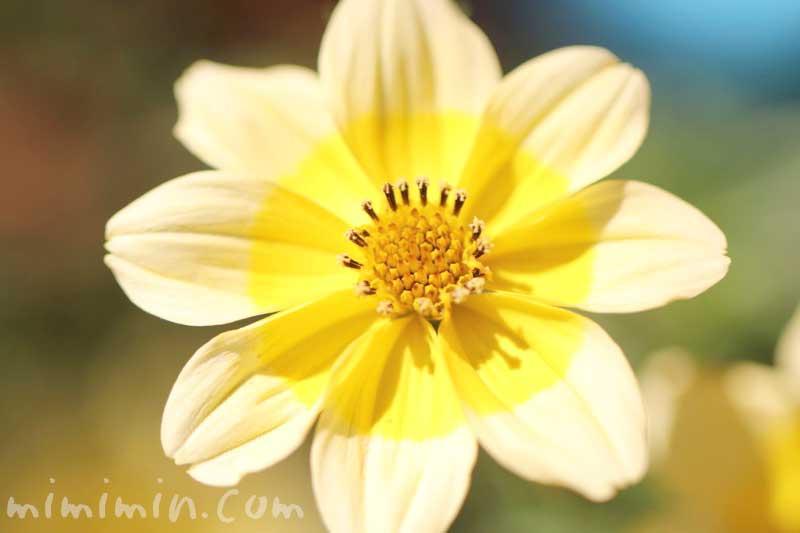 ビデンスの写真・花言葉・名前の由来のが画像
