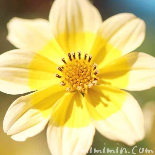 ウインターコスモスの写真・花言葉・名前の由来の画像