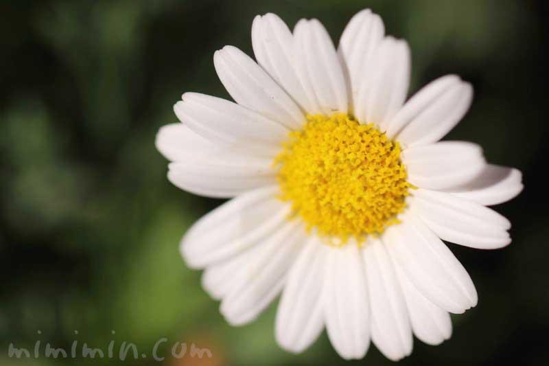 マーガレットの花の写真&花言葉
