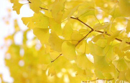 イチョウの花言葉・誕生花の画像