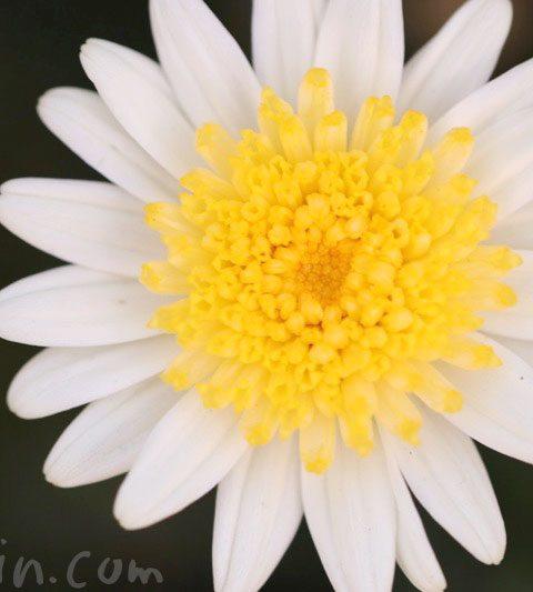 マーガレット|花の写真&花言葉