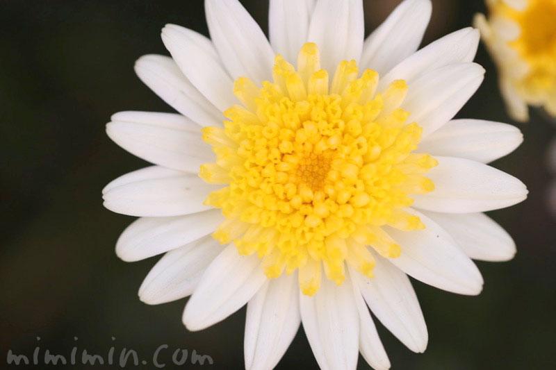 マーガレット(丁字咲き)の写真 花言葉の画像
