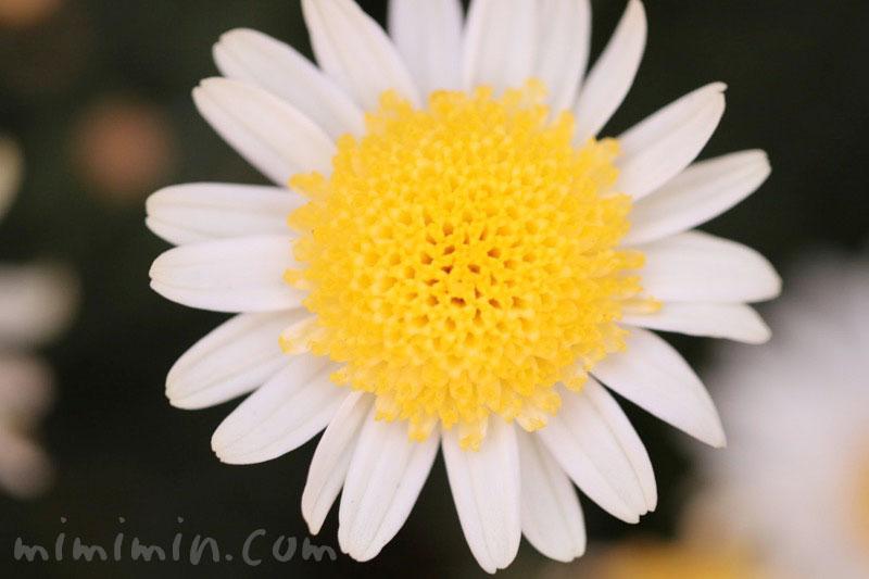 マーガレット(丁字咲き)|花の写真 花言葉