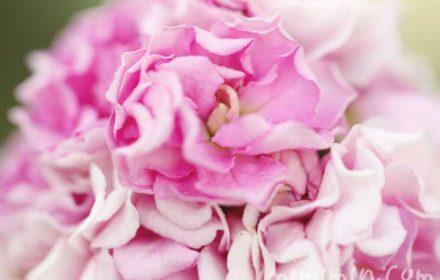 ストックの花の写真(八重咲き)・花言葉の画像