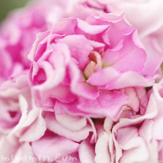 ストックの写真(八重咲き)・花言葉の画像