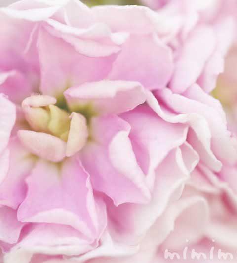 ストックの花言葉・誕生花