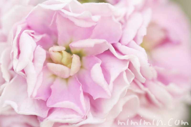 ストック(薄いピンク)の花言葉と誕生花