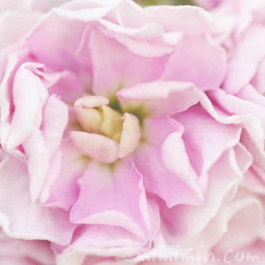 ストック(薄いピンク)の花言葉・誕生花の画像