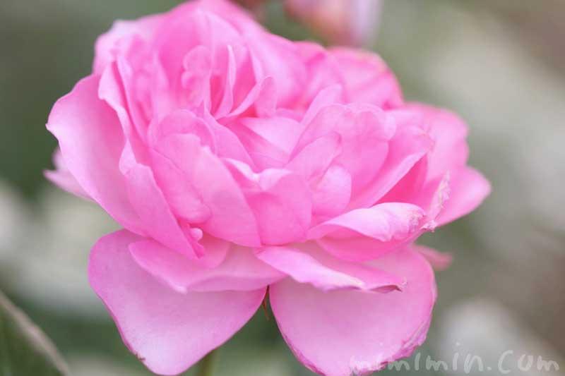 バラ(ピンク)の花の写真・花言葉・誕生花の画像