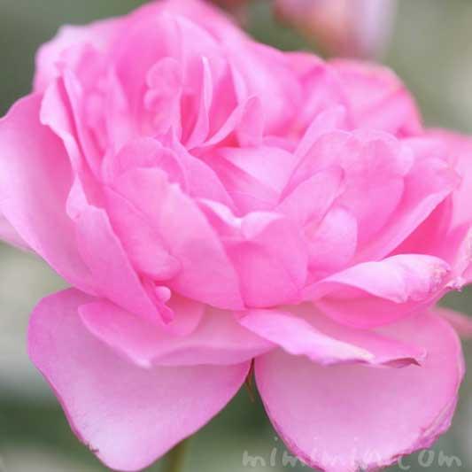 バラ(ピンク)の写真と花言葉と誕生花の画像