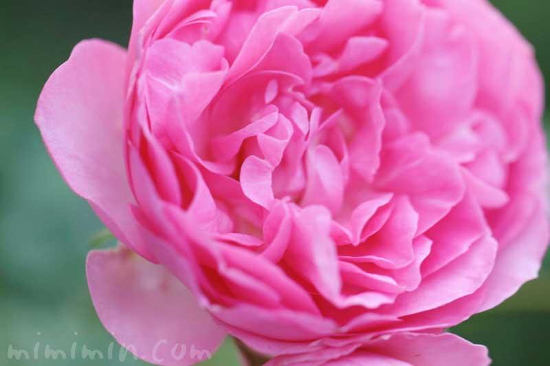 バラ(ピンク)の花言葉と誕生花