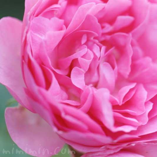 バラ(ピンク)の花の写真と花言葉と誕生花