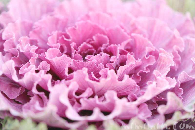 ハボタン(赤紫色)の写真 花言葉