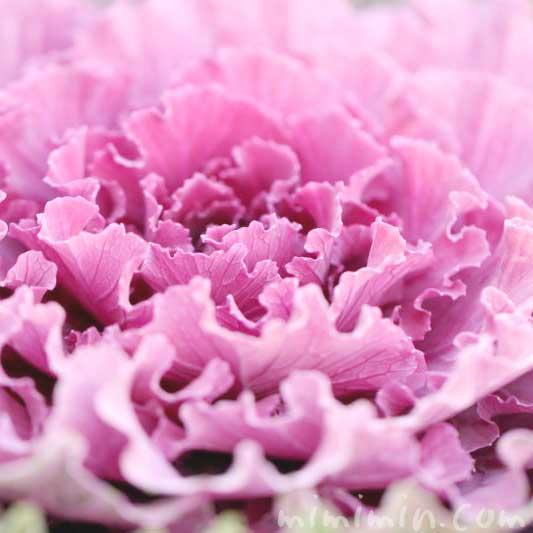 赤紫色の葉牡丹の写真と花言葉