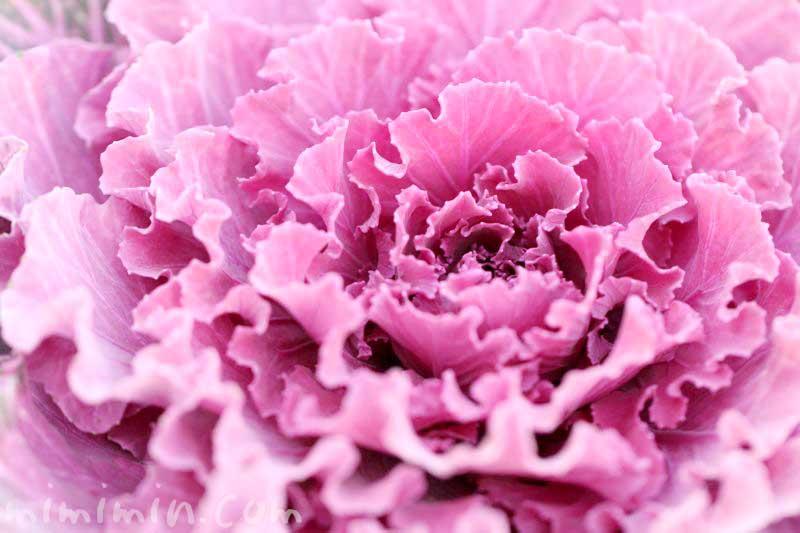 ハボタン(赤紫色)の写真と花言葉の画像