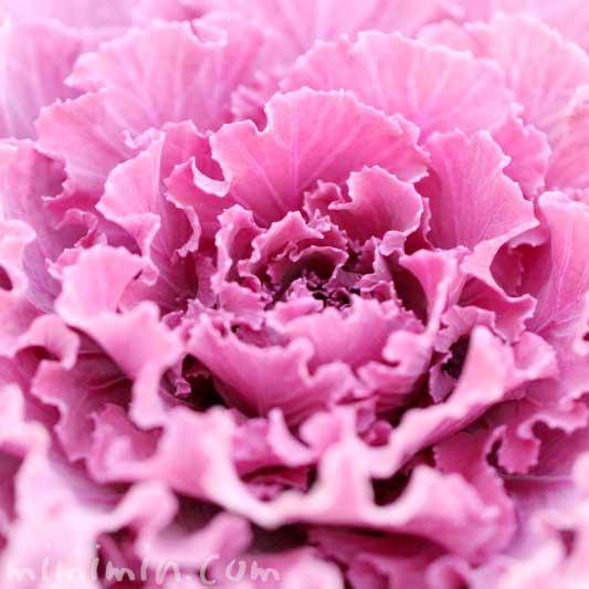 赤紫色の葉牡丹の写真 花言葉の画像