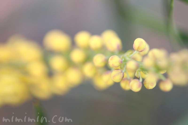 細葉柊南天の花の写真
