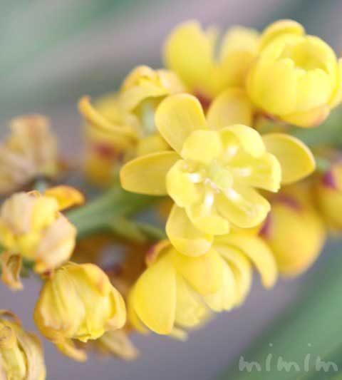 ホソバヒイラギナンテン(細葉柊南天)の花の写真・花言葉