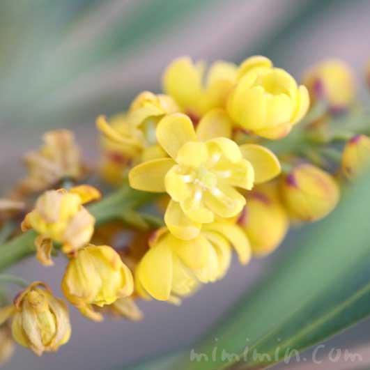 ホソバヒイラギナンテンの花の写真