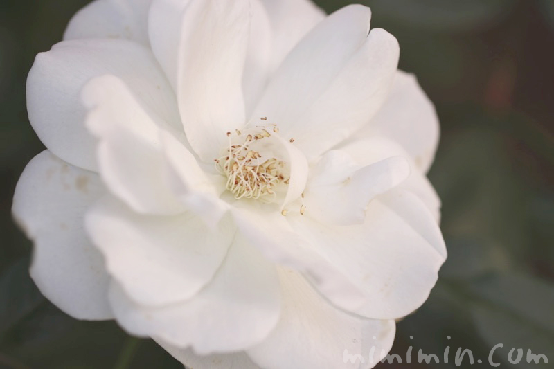 白バラの画像