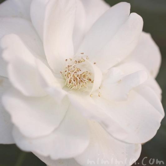 白いバラの花の写真