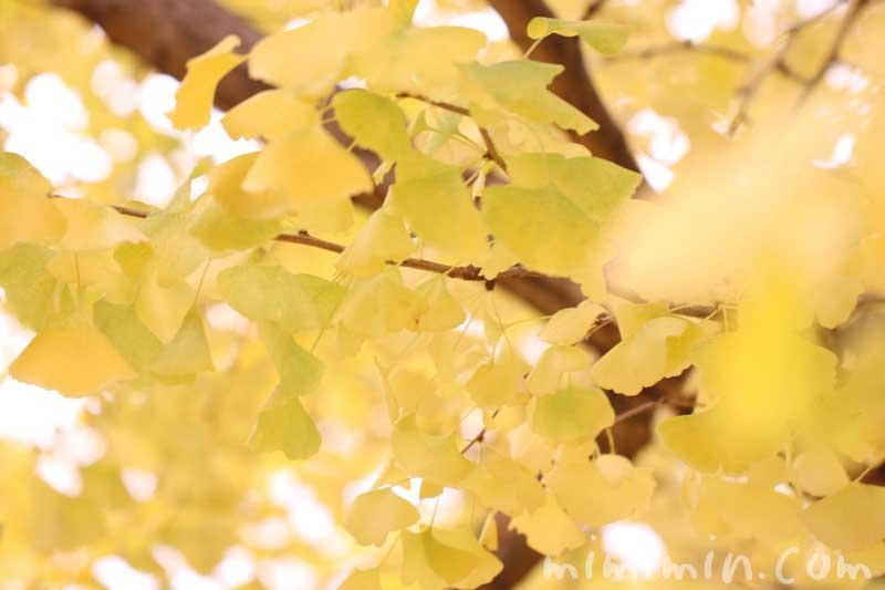 黄葉 イチョウ