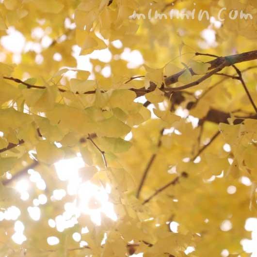 黄葉した銀杏の葉の写真