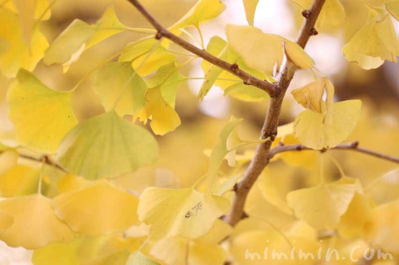 黄葉 銀杏