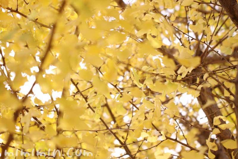 黄葉した銀杏の画像