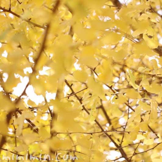黄葉 イチョウの葉の写真