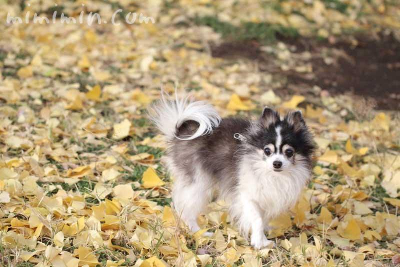 銀杏と犬の写真