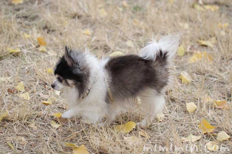 お散歩フォト・銀杏と犬の写真