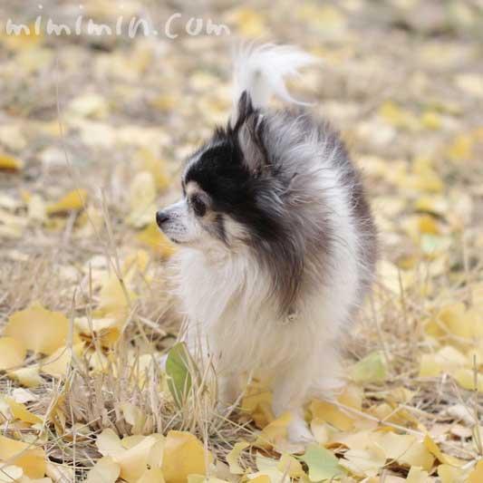 黄葉したイチョウの落葉と白黒チワワの写真