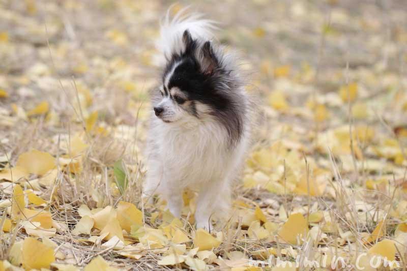 お散歩フォト・黄葉した銀杏の落葉とワンコの画像