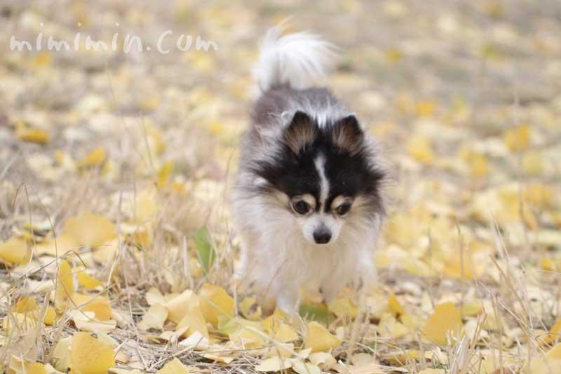 お散歩フォト・黄葉した銀杏の落葉とチワワ