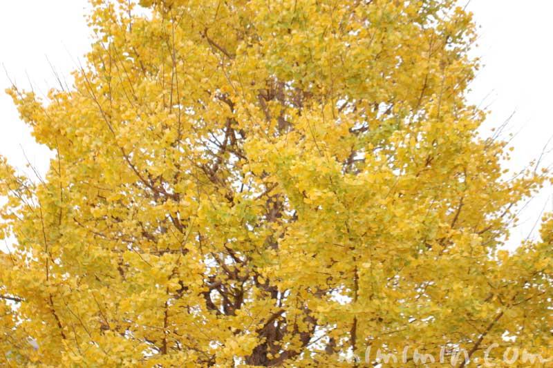 お散歩フォト・黄葉した銀杏の木の画像