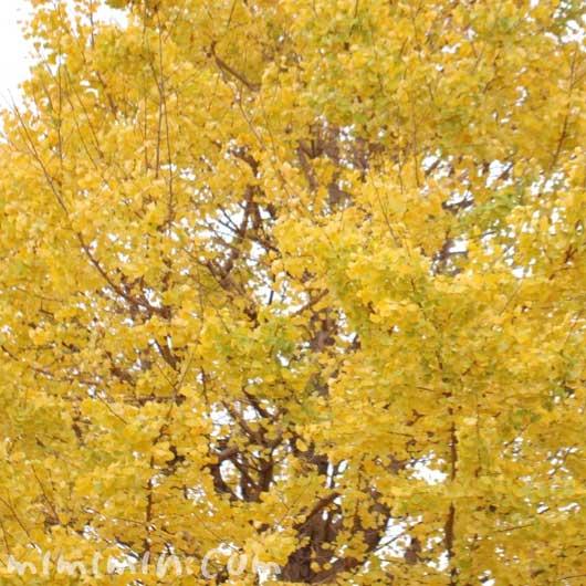お散歩フォト 黄葉 銀杏の葉の画像