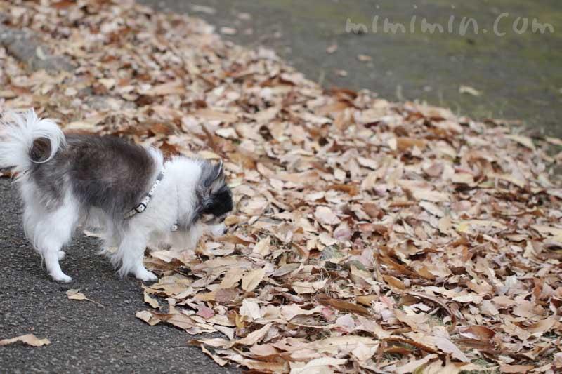 お散歩フォト 落葉とチワワ