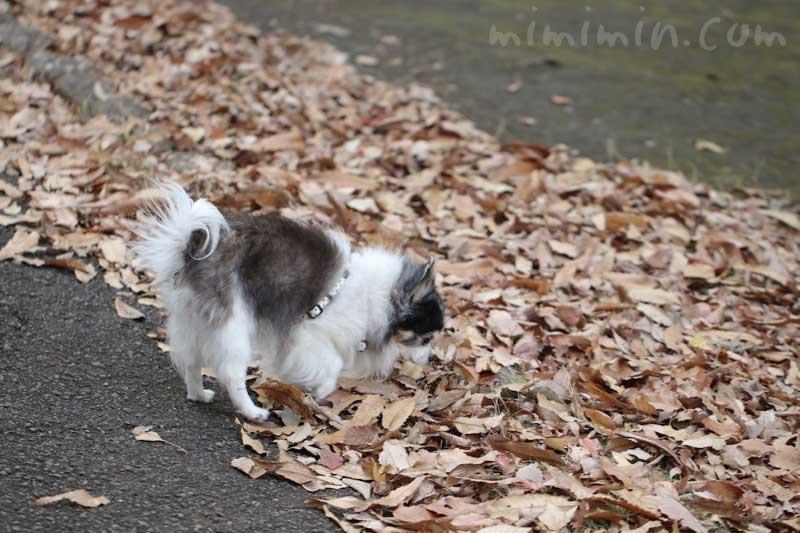 お散歩フォト| 落葉とチワワの写真