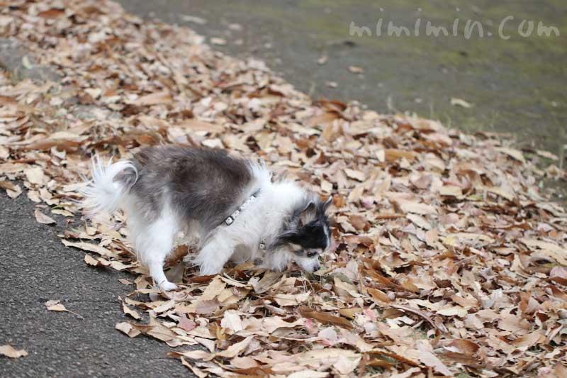 お散歩フォト| 落葉と白黒チワワの写真