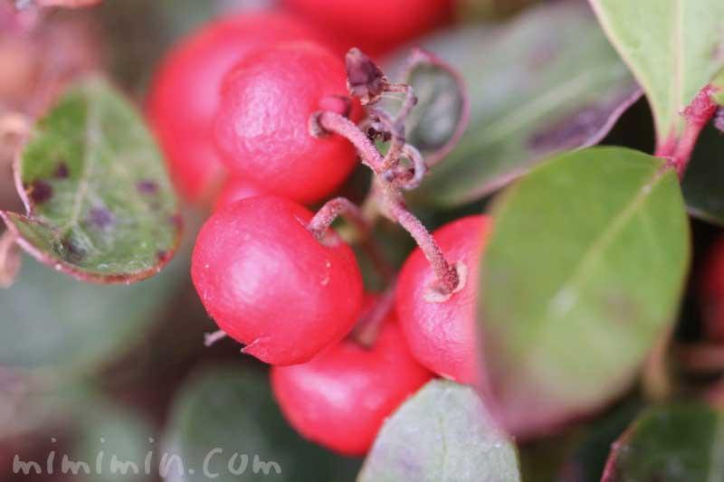 ビッグベリー(チェッカーベリー)の赤い実の写真