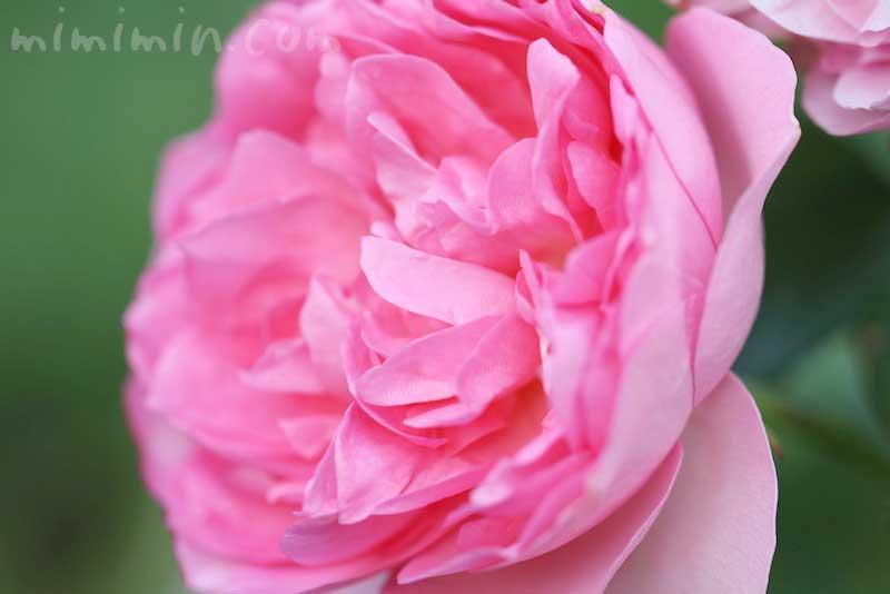 バラ(ピンク)の花言葉・誕生花の画像