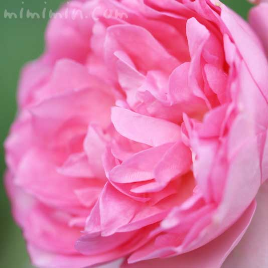 バラ(ピンク)の写真 花言葉 誕生花