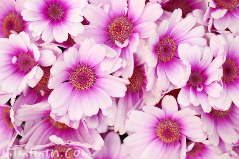 赤紫のオステオスペルマム・アフリカンデージーの写真と花言葉の画像