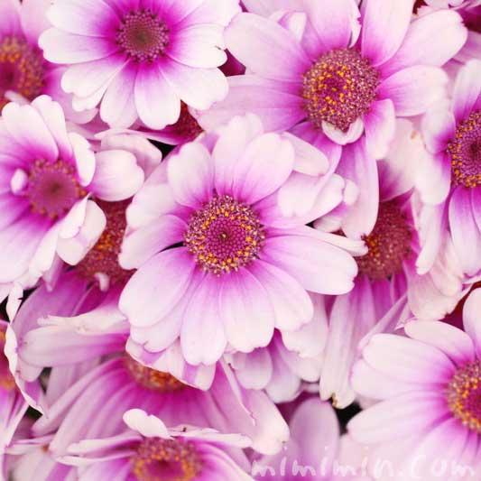 赤紫×白色のオステオスペルマム・アフリカンデージーの花の写真と花言葉の画像