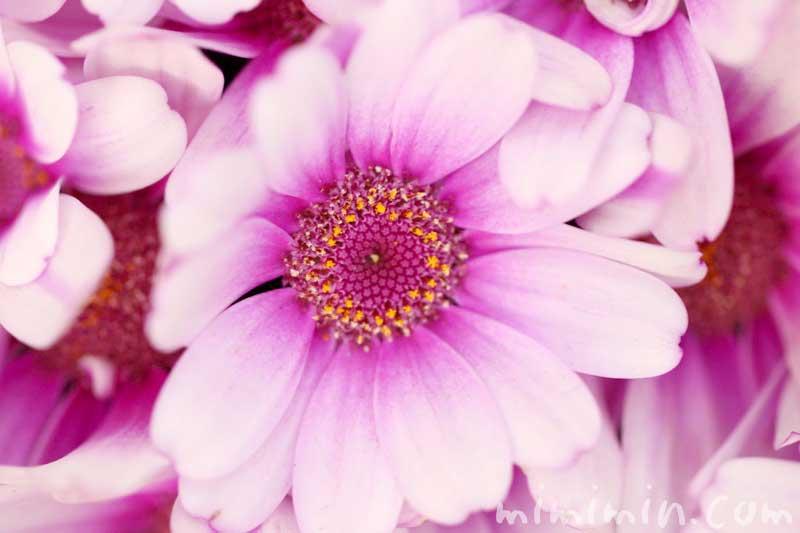 オステオスペルマム・アフリカンデージーの写真と花言葉